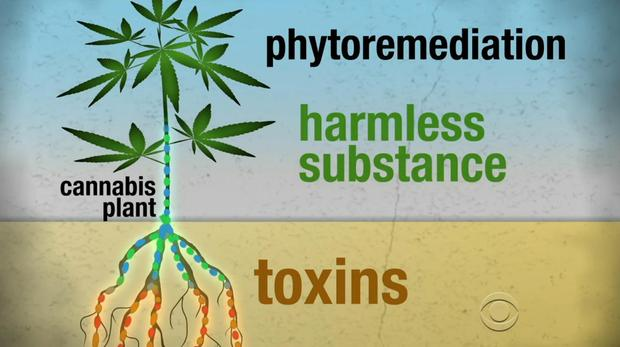 phytoremediation cannabis from toxic to harmless